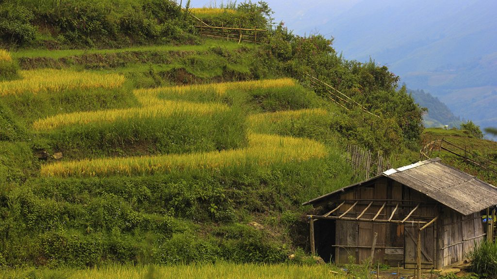 A small house inside the rice fields