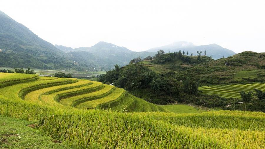 Sapa rice fields in August