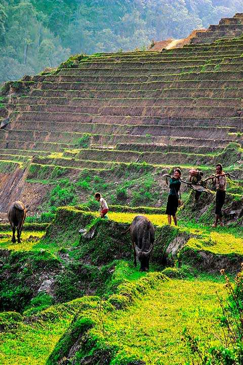 Hmong tribe working in the rice fields sapa Trekking Tour Sa Pa