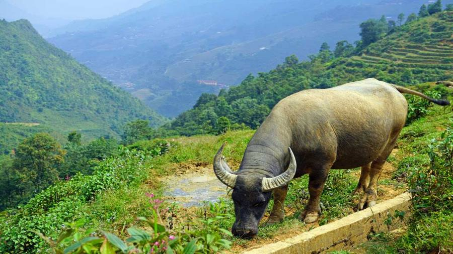 Sapa a big Buffalo